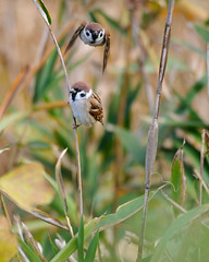 Tree Sparrow (myu-myu) Tags: bird nature japan nikon  treesparrow passermontanus wildbird   d300s aiafsnikkor300mmf4difed