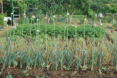 Flores de puerros- Allium porrum (kurtz112) Tags: flower flor onion leek allium henares ocio cebolla huerta porro caserío poireau porrum kurtz112 lauchr