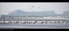 Suvarnadurga Fort,Harnai,Ratnagiri,Maharashtra,India (Harshad Pawale) Tags: blackheadedgull ratnagiri harnai maharashra brownheadedgull suvarnadurga huglinsgull