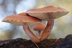 """""""Gymnopilus suberis"""" (carlespoveda) Tags: macro nature mushroom fungi bosque fungus seta hongo champiñon bolet gymnopiluspenetrans"""