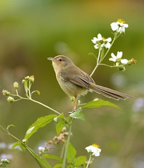 {} ( Boti) Tags: flower green nature animal asian outdoors photography nikon wildlife warbler plainprinia songbird animalsinthewild perching beautyinnature animalthemes  d7000 hongkongwildlife hongkongwildbird
