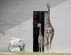 giraffe (allereb) Tags: zoo giraffe louisvillezoo d90 allereb 2010roadtrip