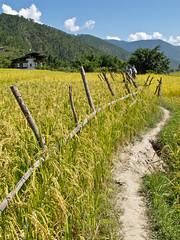 Walking Punakha Valley (Sue Hobson) Tags: fence bhutan valley footpath punakha