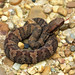 Juvenile Western Cottonmouth