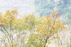 (ddsnet) Tags: autumn plant leaves sony taiwan autumnleaves   taoyuan autumnal 900      leaves reservoir autumn reservoir 900 shihmanreservoir 900  shihman shihman