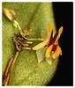 Lepanthes estrellensis