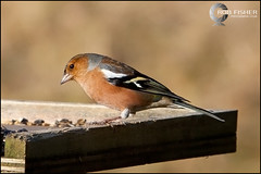 Chaffinch (Rob Fisher [RobFisherPhotographic.co.uk]) Tags: wood blue winter cambridge summer portrait blur green bird london nature leaves birds animal forest canon table outdoors eos spring mac woodpecker branch colours autum bokeh wildlife nuts reserve first feeder seeds birdtable 28 stamford canoneos bluetit eos1d lightroom rspb lseries eos1dmkii 70200l mannor canoneos1dmkii fineshade robfisher wwwrobfisherphotographiccouk robfisherphotographiccouk robfisherphotographic