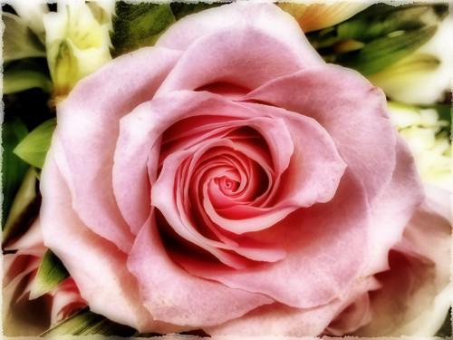 5/365 Rose Art