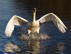 Swan-1 (knorth26) Tags: white bird feet water neck swan pond ngc wing beak feather landing land fleet