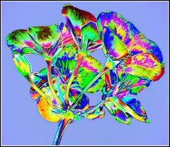 Geranium -2- (Jan 1147) Tags: flowers summer belgium zomer bloemen geramium