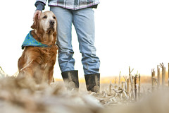 My buddy. (miss_n_arrow) Tags: me field golden kirby corn retriever relationship together