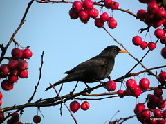 "enough food this ""winter"" (Jeanne Kliemesch / off ...busy) Tags: nature nikon jeanne blackbird merel nikonp80 nikoncoolpicp80"