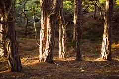 Hanging around (rafling) Tags: sunlight pine sweden ginordicjan12