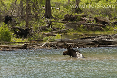 "Moose in Lake Isabel • <a style=""font-size:0.8em;"" href=""http://www.flickr.com/photos/63501323@N07/6690687133/"" target=""_blank"">View on Flickr</a>"