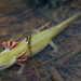 Larval Mole Salamander