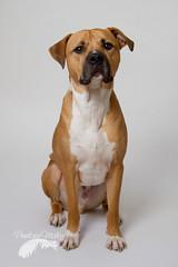 Handsome Bailey boy (Penelope Malby Photography) Tags: rescue dog mastiff canine bailey needahome mastiffcross staffycross tanandwhitedog epsomcaninerescue