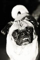 B&W Pig (WeeLittlePiggy) Tags: dog puppy pug