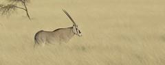 Oryx (jensaddis) Tags: africa game bird animals tiere wildlife afrika ethiopia gazelle acacia antilope oryx wildpark äthiopien awash grasland wildtiere gazell awashnationalpark oryxbeisa nikond700 aethiopien nikon2xiii nikonafs70200 illalsahaplains soemmering