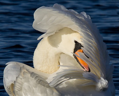 I'M SHY - SWAN at STRUMPSHAW FEN (jdoakey) Tags: uk greatbritain portrait england colour detail reflection bird eye reed water beautiful animal closeup swimming reflections reeds swan wings stem pretty day colours close eyelashes britain gorgeous sony tail norfolk wing beak feathers feather cleaning stems stunning norwich british marsh lovely alpha dslr favourite incredible fen animalplanet oakley tailed bullrushes reedbed bullrush calmwater strumpshaw a55 thewildlife strumpshawfen flickraward avianexcellence dslt sal70400g sony70400 flickraward sonya55 theinspirationgroup