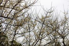 IMG_6024 (Sandor's Album) Tags: flowers flower blossom plum hsinchu taiwan       nationaltsinghuauniversity drmeimemorialgarden