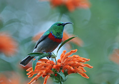 Southern Double-collared Sunbird (Mike Richardson and Sarah Winch) Tags: southerndoublecollaredsunbird cinnyrischalybeus southafricanbirds