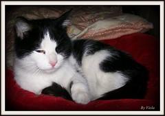 Sweet kitten ... (Simply Viola) Tags: cats animals kittens felini gatti animali gattini