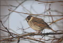 REED BUNTING (MALE) (Shaun's Nature and Wildlife Images....) Tags: birds shaund