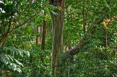 Rainbow Eucalyptus Hana Maui (topendsteve) Tags: trees hawaii maui hana eucalyptus peterlik natureplus