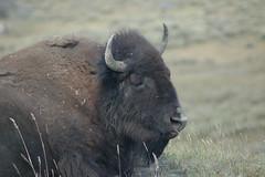 a bison (julia_k) Tags: park buffalo national wyoming teton bison grandteton wy