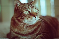 My big love (Lauren Fowler) Tags: cute film beautiful cat 35mm nose photography feline stripes kitty whiskers ear meow cateyes