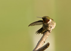 He Went that Way (snooker2009) Tags: bird nature fight hummingbird wildlife mean ruby hummer protect