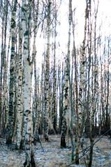 Birch (Micael Carlsson) Tags: ginordicjan12