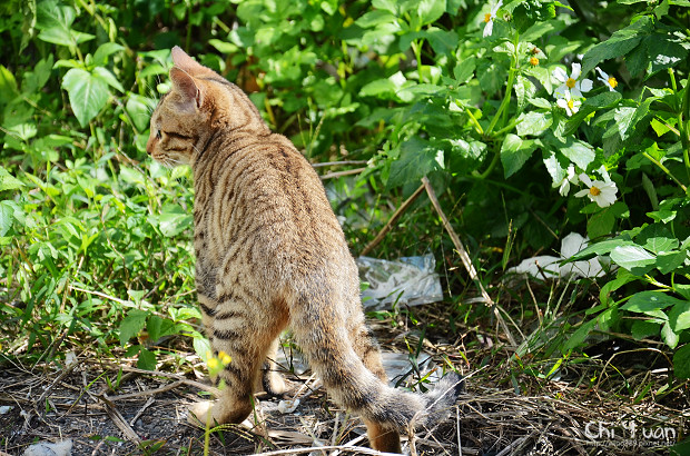 Cat漫步虎班04.jpg