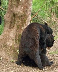 Black Bears (sandy richard) Tags: usa oregon portland zoo unitedstates portlandoregon oregonzoo sandyrichard sandrarichard