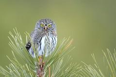 little hunter (brodmann's 17) Tags: montana owl northern pygmy pygmyowl northernpygmyowl