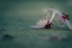 Plum flowers (julesnene) Tags: pink flowers macro spring flora bokeh blossoms prettyinpink plumblossoms floweringtree floweringplum plumflowers canoneos7d julesnene juliasumangil canonef100mmf28lmacroisusm