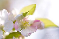 French Hanami 花見 ((Virginie Le Carré)) Tags: spring lumière highkey printemps hanami