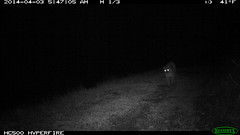 IMG_0109 Mountain Lion 4/3/2014 @5:47AM (BobcatWeather) Tags: california mammal puma cougar santacruzmountains mountainlion pumaconcolor sanmateocounty felidae cameratrap motionsensorcamera bobcatweather georgiastigall