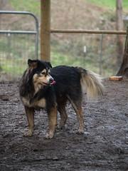 qqq (149) (coopersdogpatch) Tags: dogs tongue autzen playday