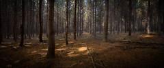 Quiet Forest (Torkn2U) Tags: au australia newsouthwales walcha