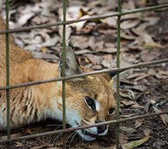 JoJo the Serval/Caracal Hybrid (namike777) Tags: rescue cat tampa big florida serval caracal