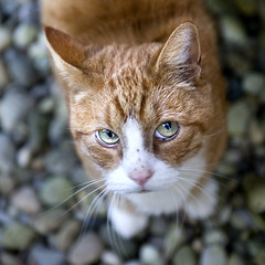 Tigger (anne makaske) Tags: pink red animal cat naughty nose ginger tiger whiskers stare beast gravel