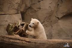 Eisbr Lilli im Zoo Bremerhaven 30.04.2016 Teil 2  17 (Fruehlingsstern) Tags: sunset sonnenuntergang polarbear lloyd lili bremerhaven zooammeer valeska eisbr canoneos750 tamron16300