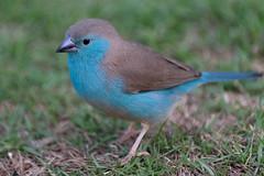 Blue Waxbill, So Tom (CarolineG2011) Tags: africa blue island sao tome waxbill