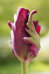 Tulpe (eulemimi) Tags: flower nature spring blossom natur tulip blume blte frhling tulpe