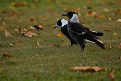 Magpies (Luke6876) Tags: autumn bird leaves animal wildlife magpie australianwildlife butcherbird australianmagpie