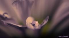 soflty spoken (skeem125) Tags: blur flower detail macro pastel micro waterrops