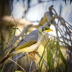 yellow-throated miner (Fat Burns  (gone bush)) Tags: bird fauna honeyeater australianbird barcaldine australianfauna minerbird manorinaflavigula yellowthroatedminer nikond750 sigma150600mmf563dgoshsmsports sigmateleconvtc1401nik