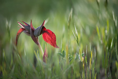 DSC_3168-Editar (Jesus Bravo) Tags: flower macro green spring ground serapia