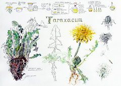 1538_3 ( ) Tags: flowers plants illustration ink watercolor botanical text fountainpen 365 lettering sketches platinum            zigcleancolor